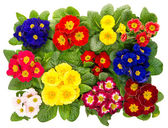 Spring primula flowers isolated on white — Stock Photo