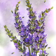 Fresh lavender plant flowers over white — Stock Photo