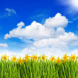 Narcissus flowers in grass over sunny blue sky — Stock Photo