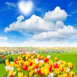 Flowers field with colorful assorted tulips — Stock Photo