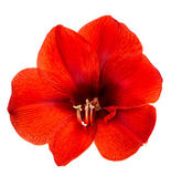 Red amaryllis flower with clipping path — Stock Photo