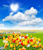 Blommor fält med färgstarka blandade tulpaner — Stockfoto