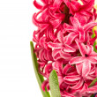 Fresh pink hyacinth flower with water drops — Stock Photo