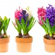 Fresh hyacinth flowers in pot on white — Stock Photo