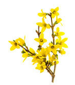Forsythia blossoming isolated on white — Stock Photo