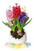 Fresh hyacinth flowers in easter egg pot — Stock Photo
