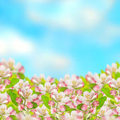 Apple blossoms over blurred blue sky background — Stock Photo