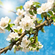 Blossoming apple tree over blue sunny sky — Stock Photo
