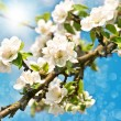 Blossoming apple tree over blue sunny sky — Stock Photo #21841893