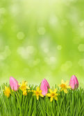 Fresh spring easter flowers. narcissus and tulips in grass — Stock Photo