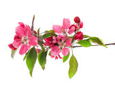 Spring blossoms of cherry tree isolated on white — Stock Photo