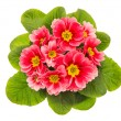 Stock Photo: Pink primulas isolated on white background