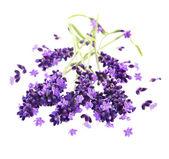 Fresh violet lavender flowers over white — Stock Photo
