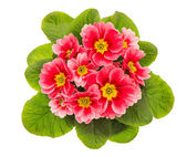 Pink primulas isolated on white background — Stock Photo