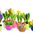 Hyacinth, pink primulas, yellow daffodils - Stock Photo