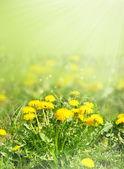 Dandelion flowers in green grass blurred — Stock Photo