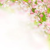 Apple blossoms over blurred nature background — Stock Photo