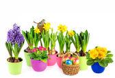 Hyacinth, pink primulas, yellow daffodils — Stock Photo