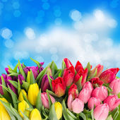 Flores de tulipán de manantial con gotas de agua — Foto de Stock