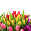 Fresh colorful tulips over white background — Stock Photo