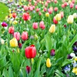 Assorted colorful tulips on flowerbed — Stock Photo #22686677