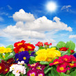Primula flowers on blue sky background — Stock fotografie