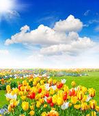 Campo di fiori di tulipano. paesaggio primaverile — Foto Stock