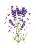 Fresh provencal lavender flowers isolated on white — Stock Photo