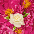 Stock Photo: Beautiful pink peony flowers with white single rose