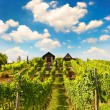 Beautiful vineyard with sunny cloudy blue sky — Stock Photo