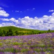 Lavender field with beautiful blue sky in Provence, France — Stock Photo