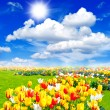 Stock Photo: Tulip flowers field. spring landscape with sunny blue sky