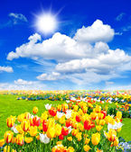 Tulip flowers field. spring landscape with sunny blue sky — Stock Photo