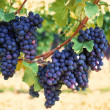 Purple red grapes with green leaves on the vine — Stock Photo #29026025