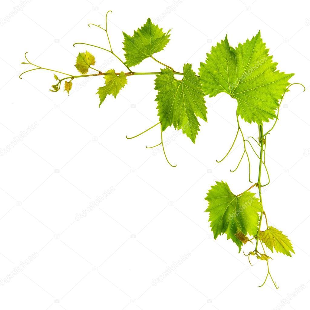 孤立在白色背景上的葡萄树树叶边框