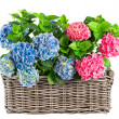 Hortensia plants  — Stock Photo
