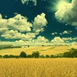 Wheat field and sunny blue sky — Stok fotoğraf