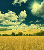 Wheat field and sunny blue sky — Foto Stock