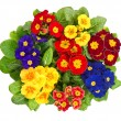 Assorted primula flowers isolated on white — Stock Photo