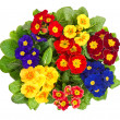 Assorted primula flowers isolated on white — Stock Photo #37003165