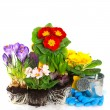 Spring flowers primula, crocus and hyacinth on white — Stock Photo