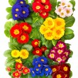 Stock Photo: Colorful fresh spring primrose flowers