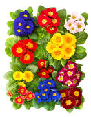 Colorful fresh spring primrose flowers — Stock Photo