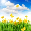 Daffodils flowers and butterflies in green grass. blue sky — Stock Photo