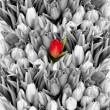 Tulips. black white with one red flower — Stock Photo #41305157