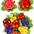 Primula flowers isolated on white — Stock Photo