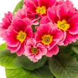 Pink primulas. spring flowers primrose — Stock Photo