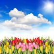 Tulip flowers with sunny blue sky — Stock Photo #41764471