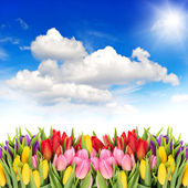 Tulip flowers with sunny blue sky — Stock Photo