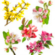 Closeup blossoms apple tree, cherry twig, forsythia — Stock Photo